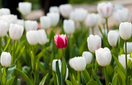 different concept: One red tulip in a sea of white tulips.