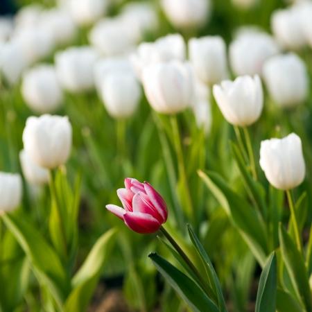 eccentric: One red tulip in a sea of white tulips.