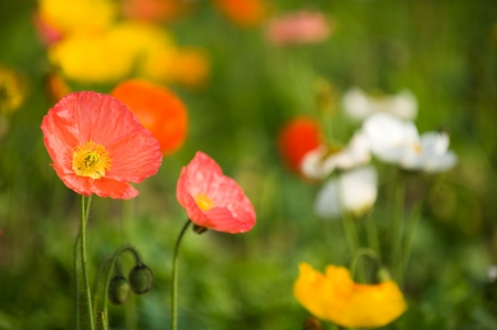 Field with colorful corn poppy flowers. Stock Photo - 14048884