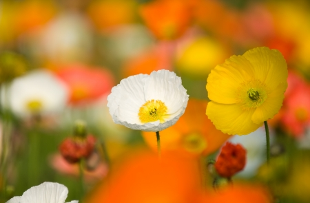 Field with colorful corn poppy flowers. photo