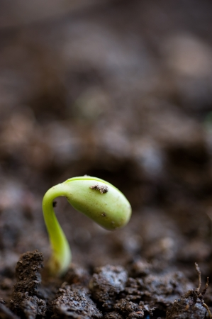 Close-up of seedling of bean growing out of soil photo