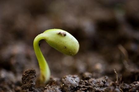 judias verdes: Primer plano de las plántulas de frijol que crecen fuera del suelo