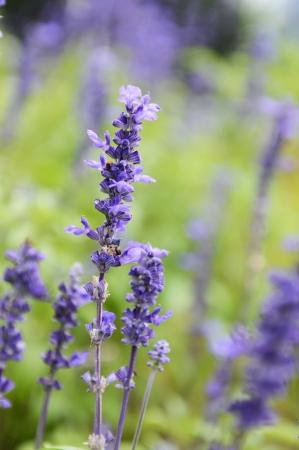 salvia: Clary Sage (Salvia sclarea) for background use.
