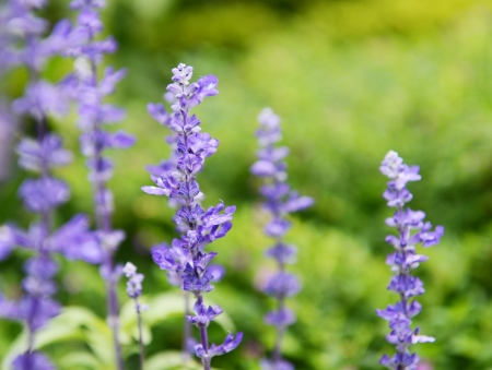 Clary Sage (Salvia sclarea) for background use.  photo
