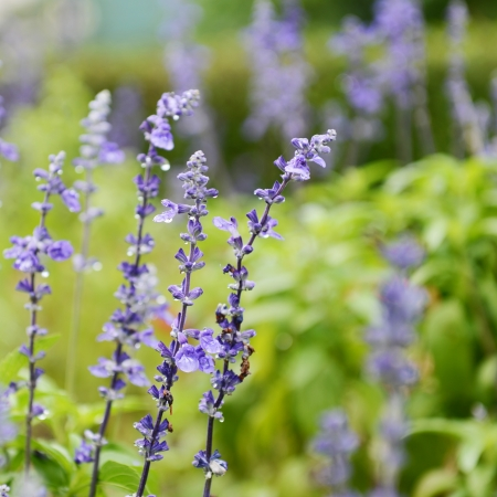 sage: Clary Sage (Salvia sclarea) for background use.