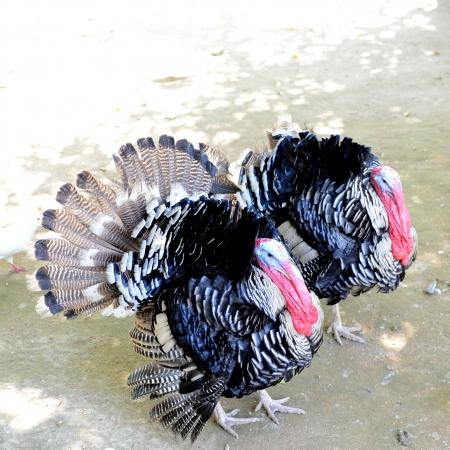 strutting: Turkey strutting its feathers at zoo. Stock Photo
