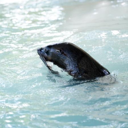shape cub: a phoca vitulina swimming in water