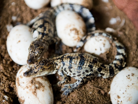 alligator eyes: Little baby crocodiles are hatching from eggs.