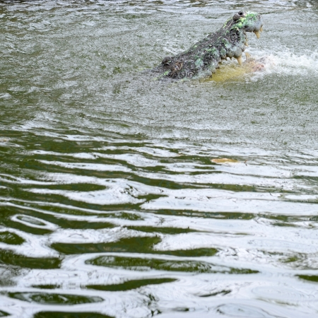Crocodiles fighting in the pond. photo
