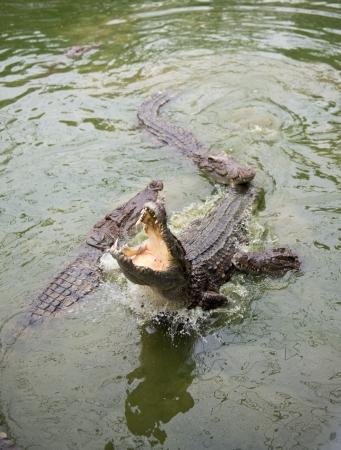 chomp: Crocodiles fighting in the pond. Stock Photo