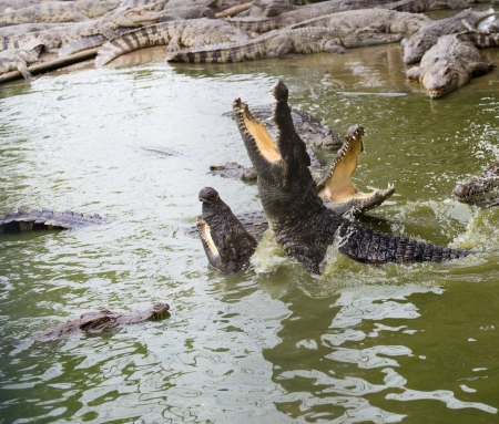 Crocodiles fighting in the pond. Stock Photo - 19263046