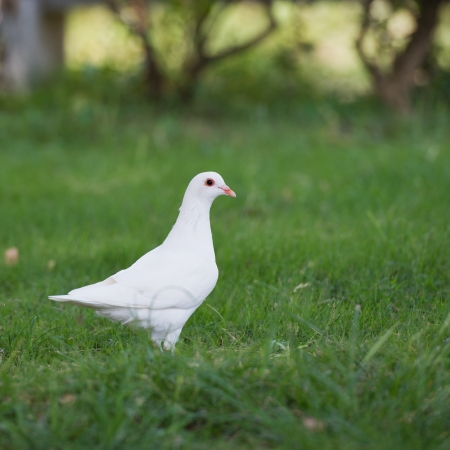 Single white pigeon walking in the green garden.  photo