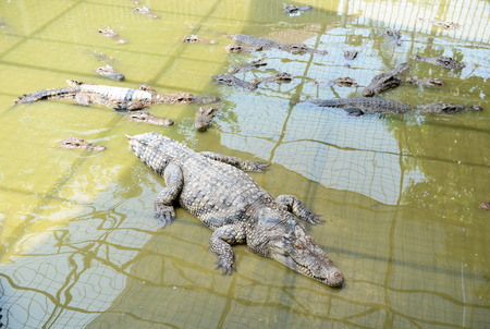 top angle: Crocodiles fighting in the pond. Stock Photo