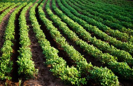 농장에서 땅콩 식물의 행입니다.