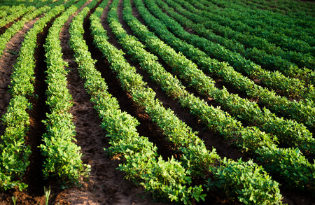 the arable land: Rows of peanut plants in the farm.