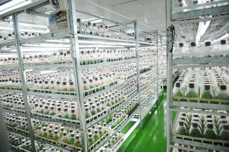 Orchid flower plant seedlings are being grown in bottles.