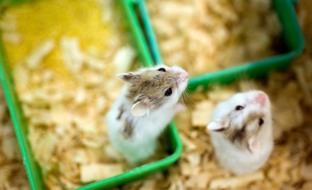 hamster sitting in a wooden house Stock Photo