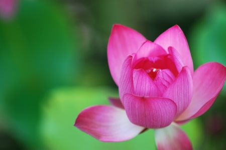 lotus flower blossom photo