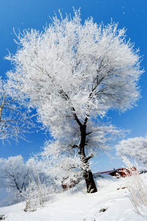 hoar frost: Trees in frost and landscape in snow against blue sky  Winter scene  Stock Photo