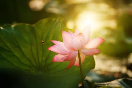 lotus flower blossom in the sunrise photo