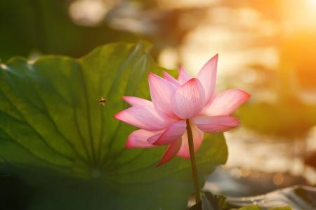 日の出の蓮の花の花 写真素材