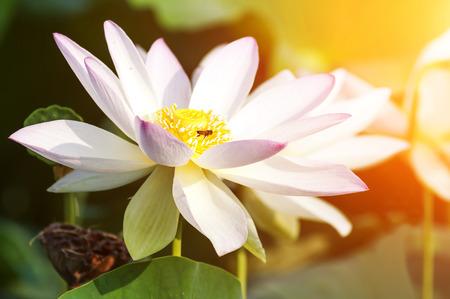 lirio acuatico: flor de loto flor Foto de archivo