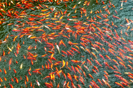 frenzy: Colorful brocaded carps