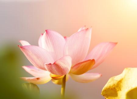 Fleur de lotus fleur Banque d'images - 26679685