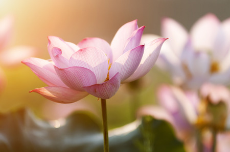 buddha tranquil: lotus flower blossom Stock Photo