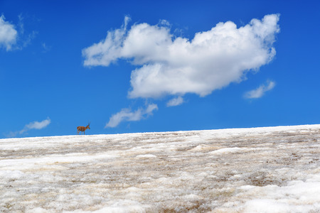 tibetan antelope in the snow mountain