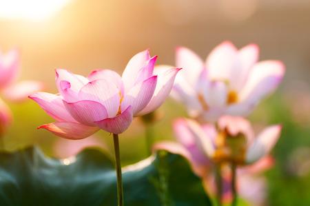 lotus flower blossom Imagens - 35092076
