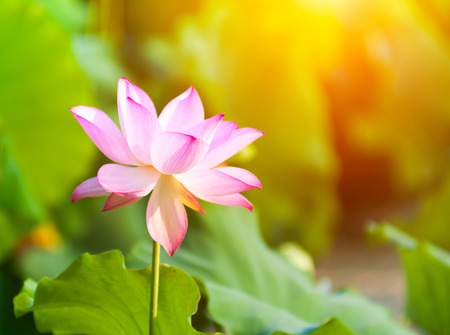 lotus flower blossom 免版税图像