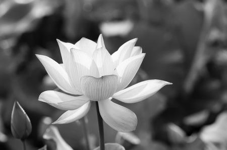 lotus flower blossom Reklamní fotografie
