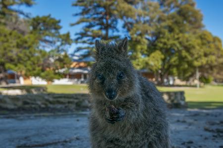furred: Quokka (Setonix brachyurus) on Rottnest Island, Western Australia Stock Photo