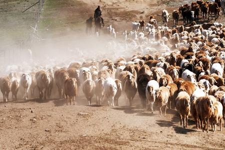 nomadism: Flocks of sheep