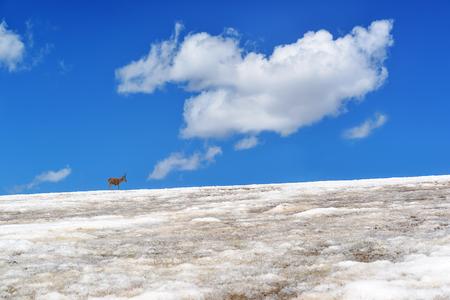 wild asia: tibetan antelope in the snow mountain
