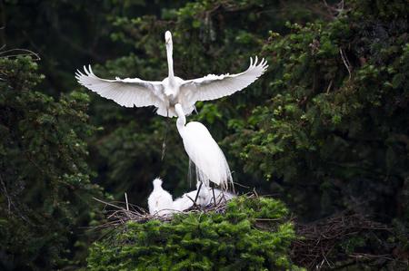 Great Egret 写真素材