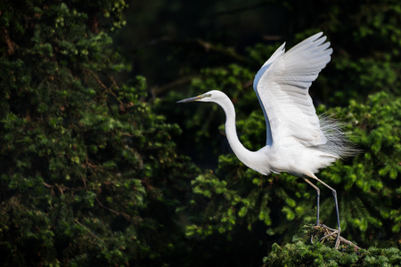 Great White Egret in mating colors and displaying to attract mate.