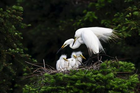 Great White Heron - Ardea alba