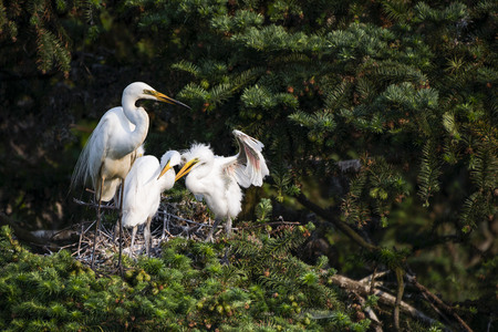 Great Egret nest with young chicks