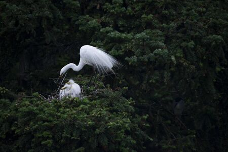 Great Egret with young chicks Reklamní fotografie