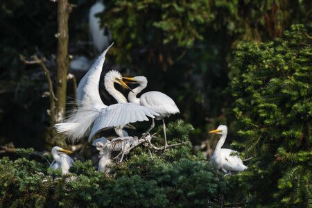 Great Egrets in the wild 스톡 콘텐츠