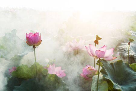 lotus flower blossom Stock fotó