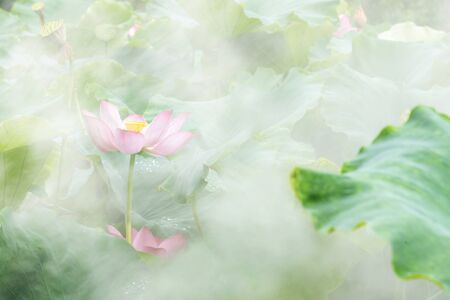 lotus flower blossom in the summer