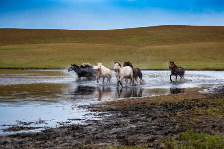 Horse herd run fast in river dust against dramatic sunset sky