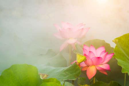 lotus flower blossom in the summer