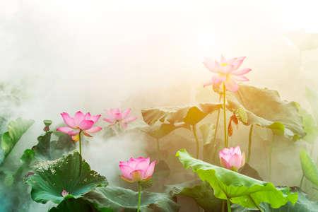 lotus flower blossom in summer