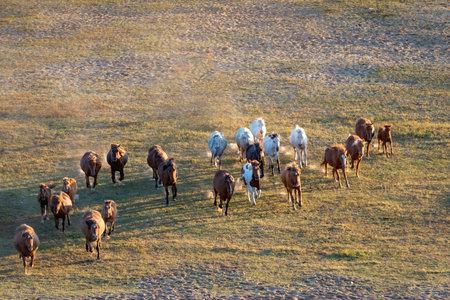 Bashang of Inner Mongolia horse 免版税图像