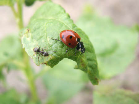 Ant and a ladybird on a green leaf a sunny day photo