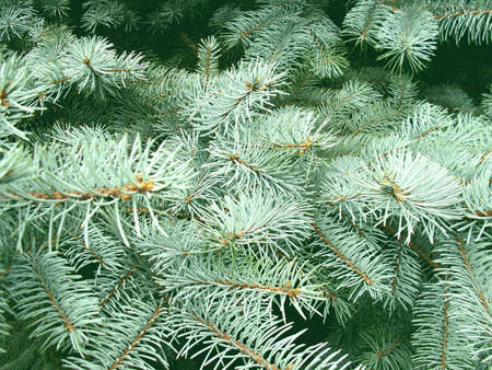 The big cones on a blue spruce photo